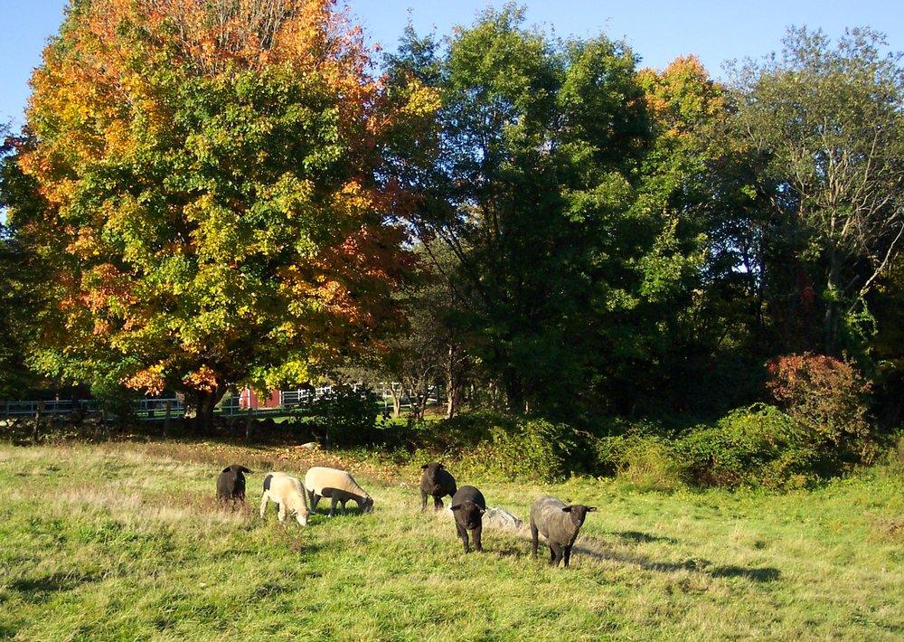 Lamb pic for Steve.JPG