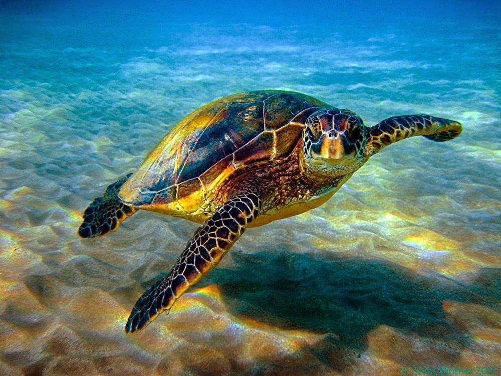 Hawksbill-Sea-Turtle-Images.jpg