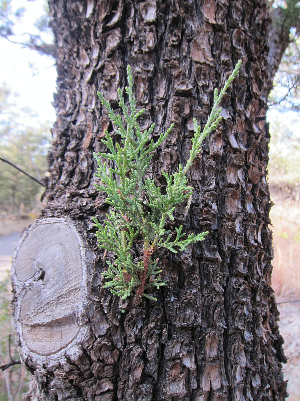 Alligator Juniper