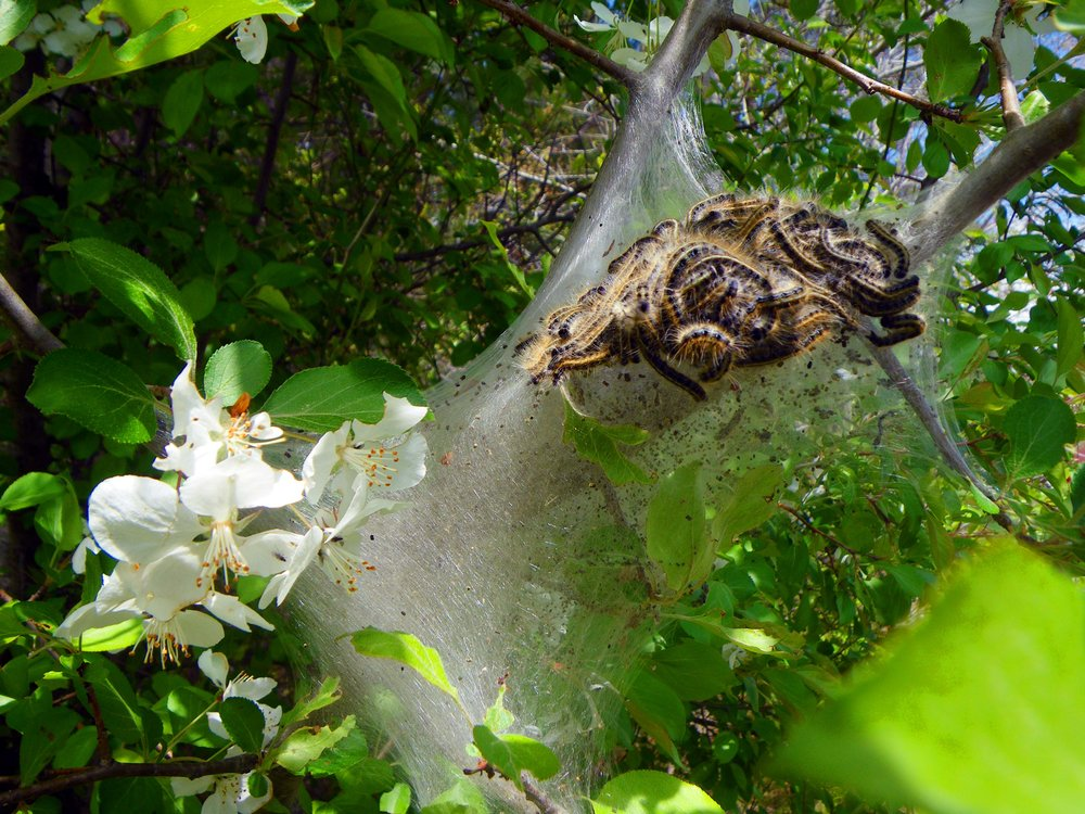 Tent Caterpillars, Delmarva Peninsula - Photo by Tim Giller