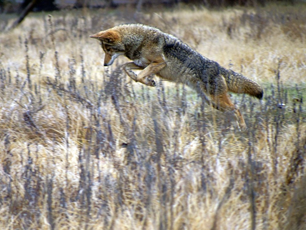 Coyote Yosemite N.P. - Photo by Tim Giller