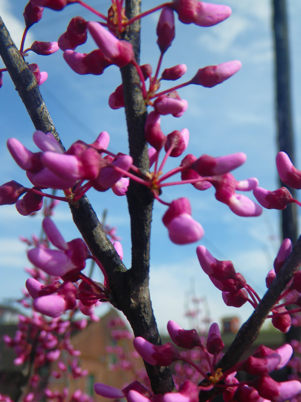Redbud with blackened stems