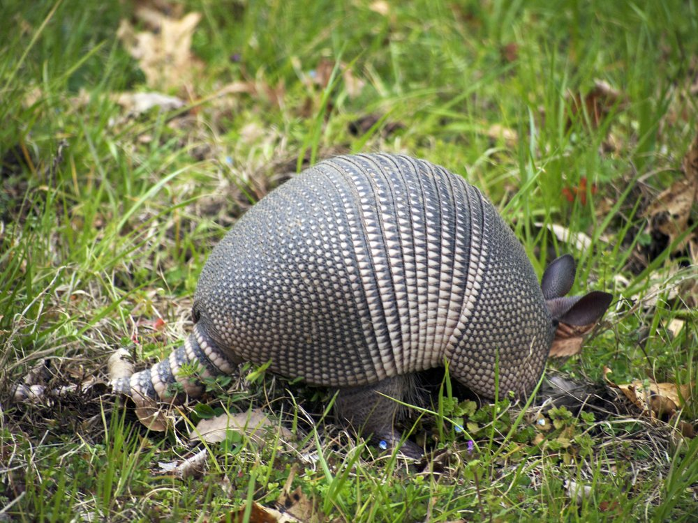 Nine-banded armadillo, Mississippi - Photo by Tim Giller
