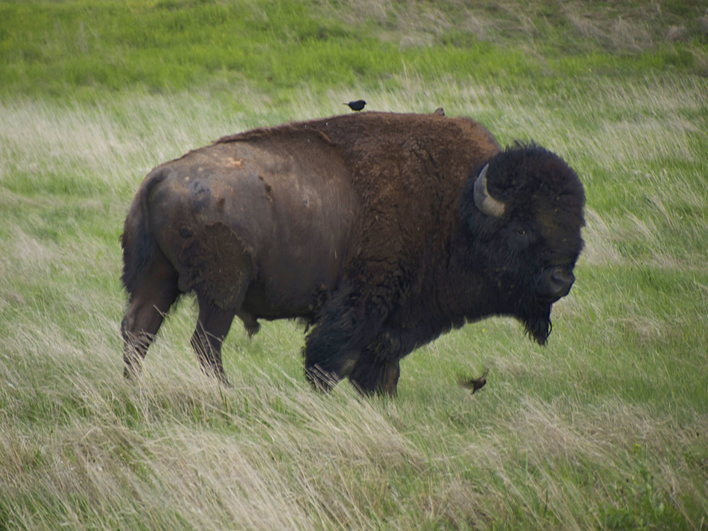 Bison, South Dakota - Photo by Tim Giller