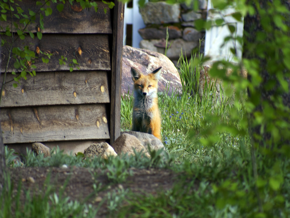 Fox, Nederland, Co - Photo by Tim Giller