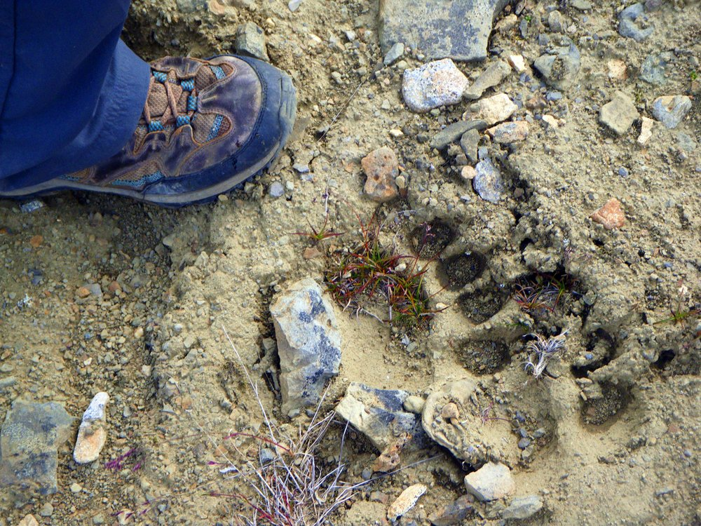 Bear Tracks, Wrangell-St Elias NP - Photo by Tim Giller