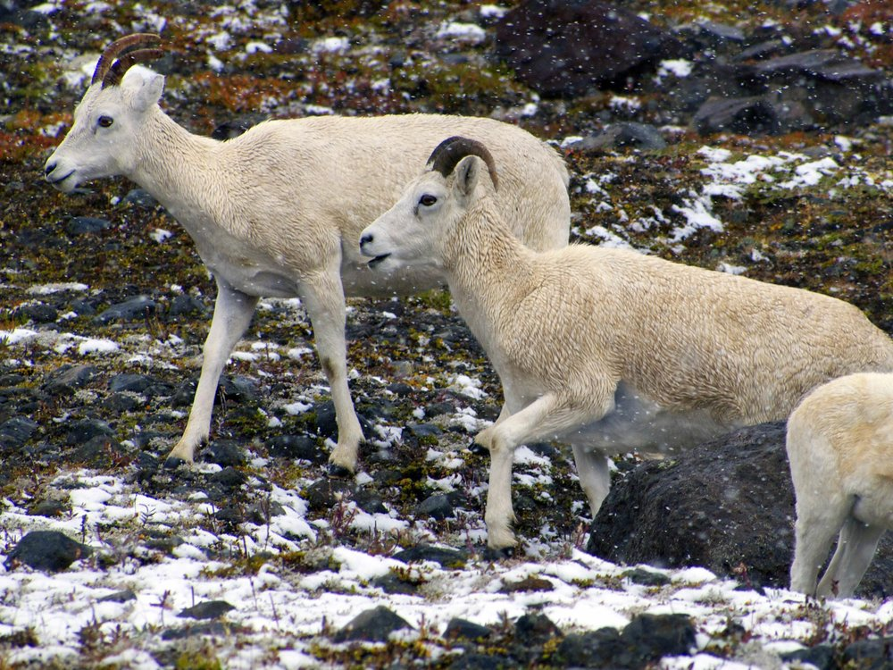 Dall Sheep, Wrangell-St Elias NP - Photo by Tim Giller