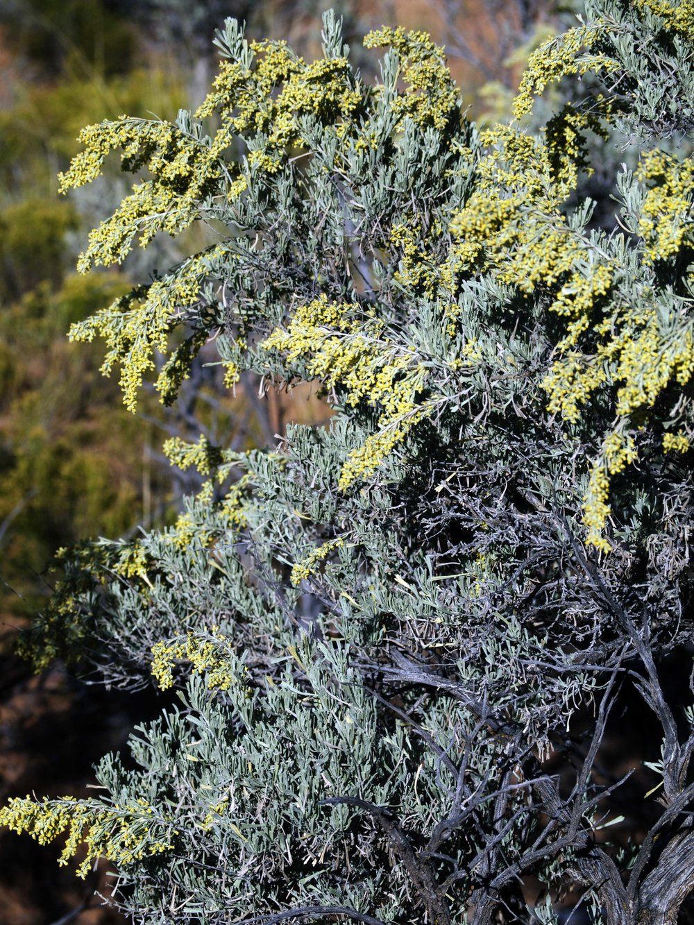 Artemisia tridentata - Photo by Tim Giller