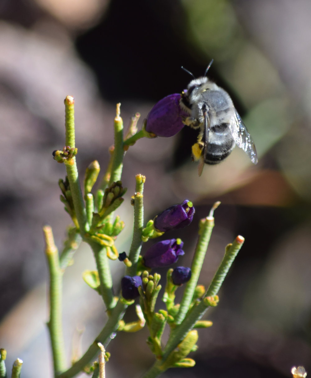 Digger bee on Turpentine Broom - Photo by Tim Giller