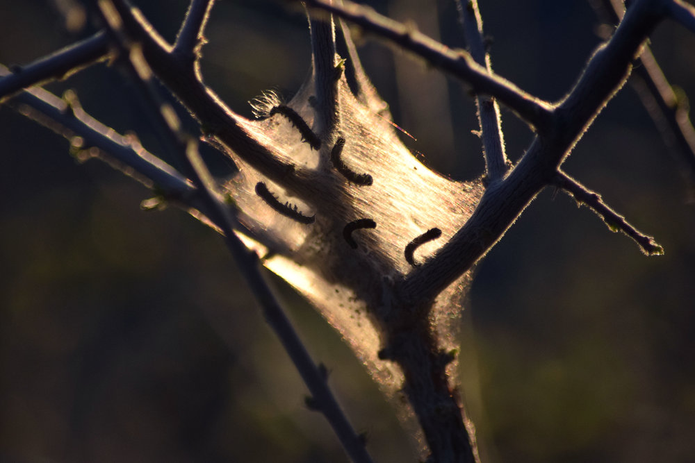 Tent caterpillars on Catsclaw Acacia - Photo by Tim Giller