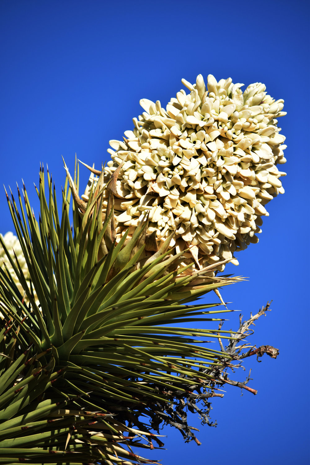 Joshua Tree Blossom - Photo by Tim Giller