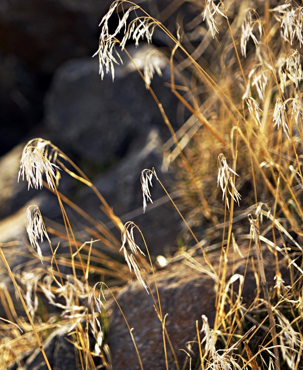 Cheatgrass (Bromus tectorum)