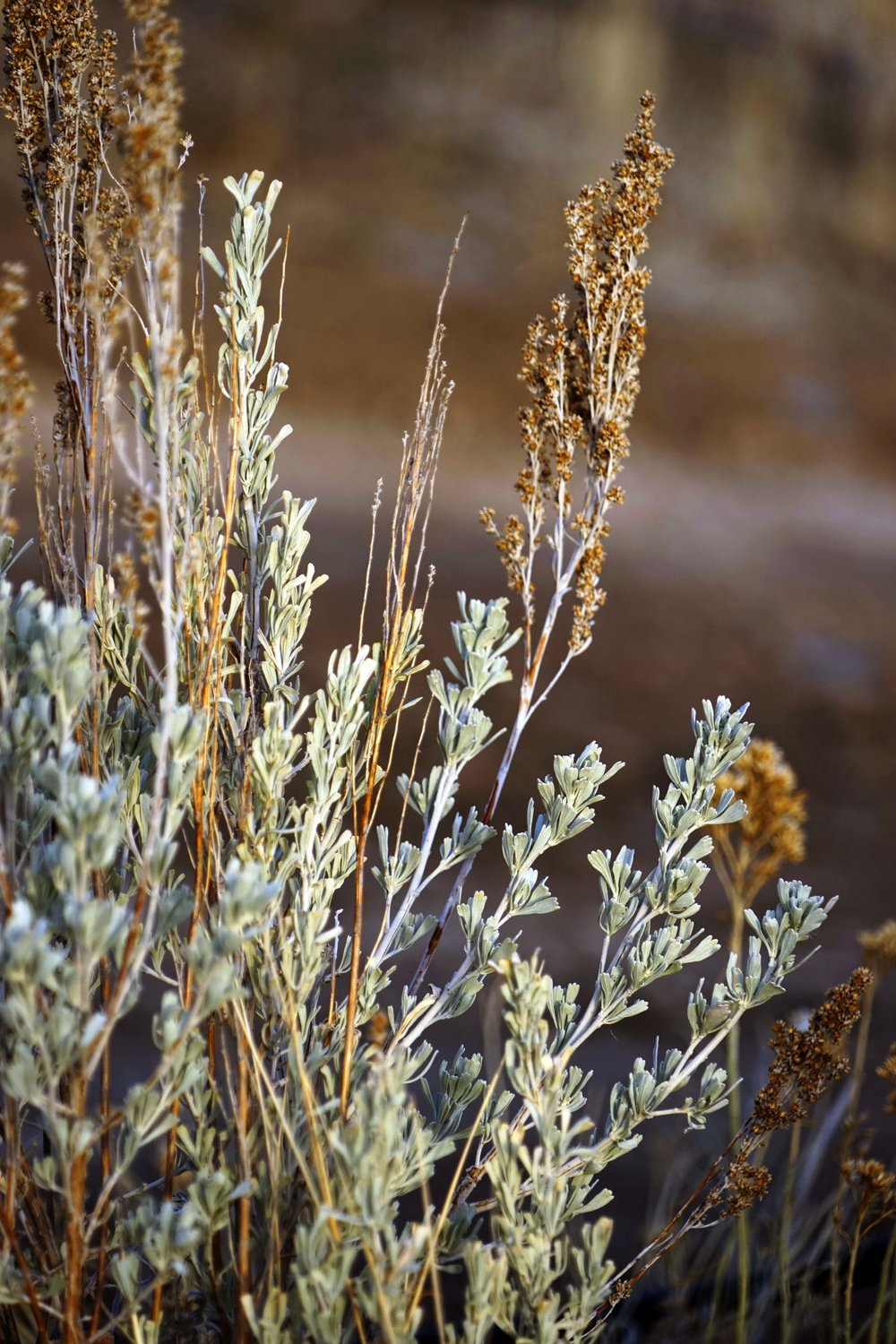 Great Basin Sagebrush (Artemisia tridentata)