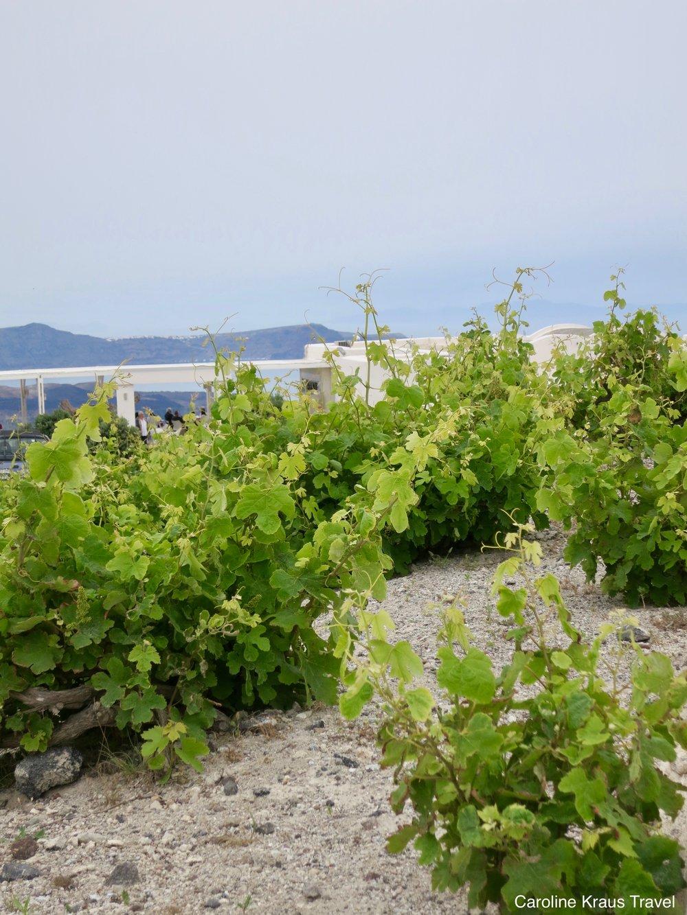 Vines of Santorini, Greece