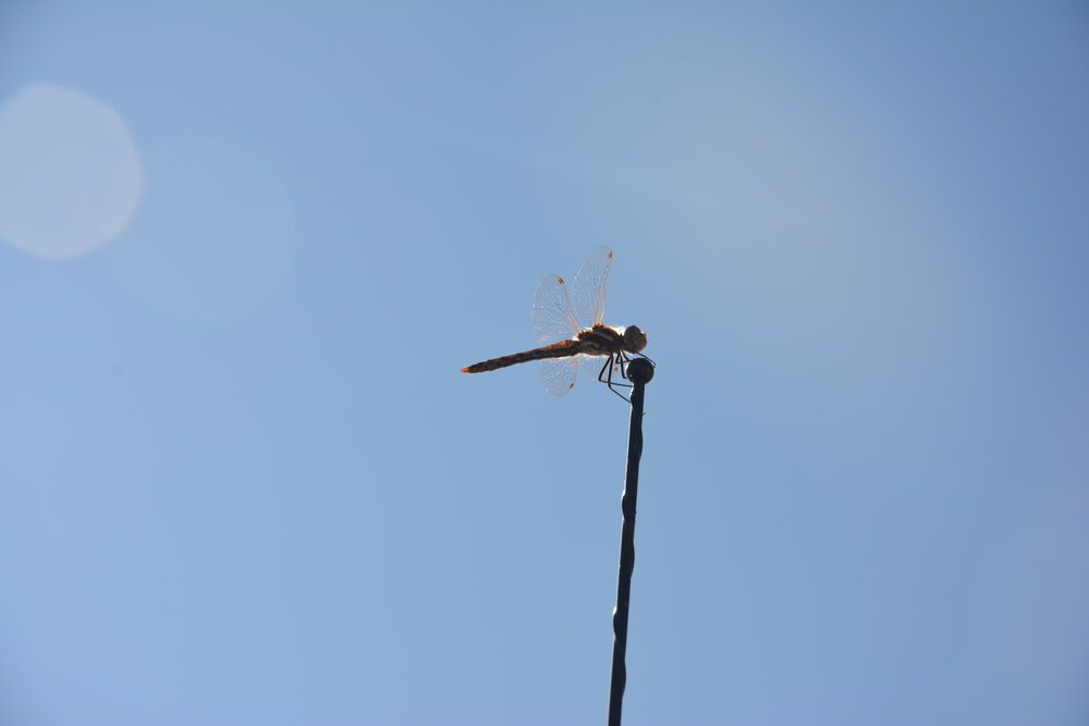 Summer 2017 Eclipse: This dragonfly stayed on our truck antenna for the eclipse. Later that day, we had dozens of these flying circles and doing acrobatics above our yard - a sight we haven't experienced before.