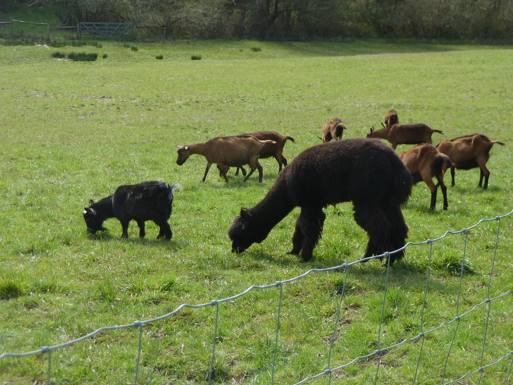 Spring 2018 Monmouth, Oregon: Goliath the pygmy goat, Pablo the guard alpaca, and the Oberhasli girls...