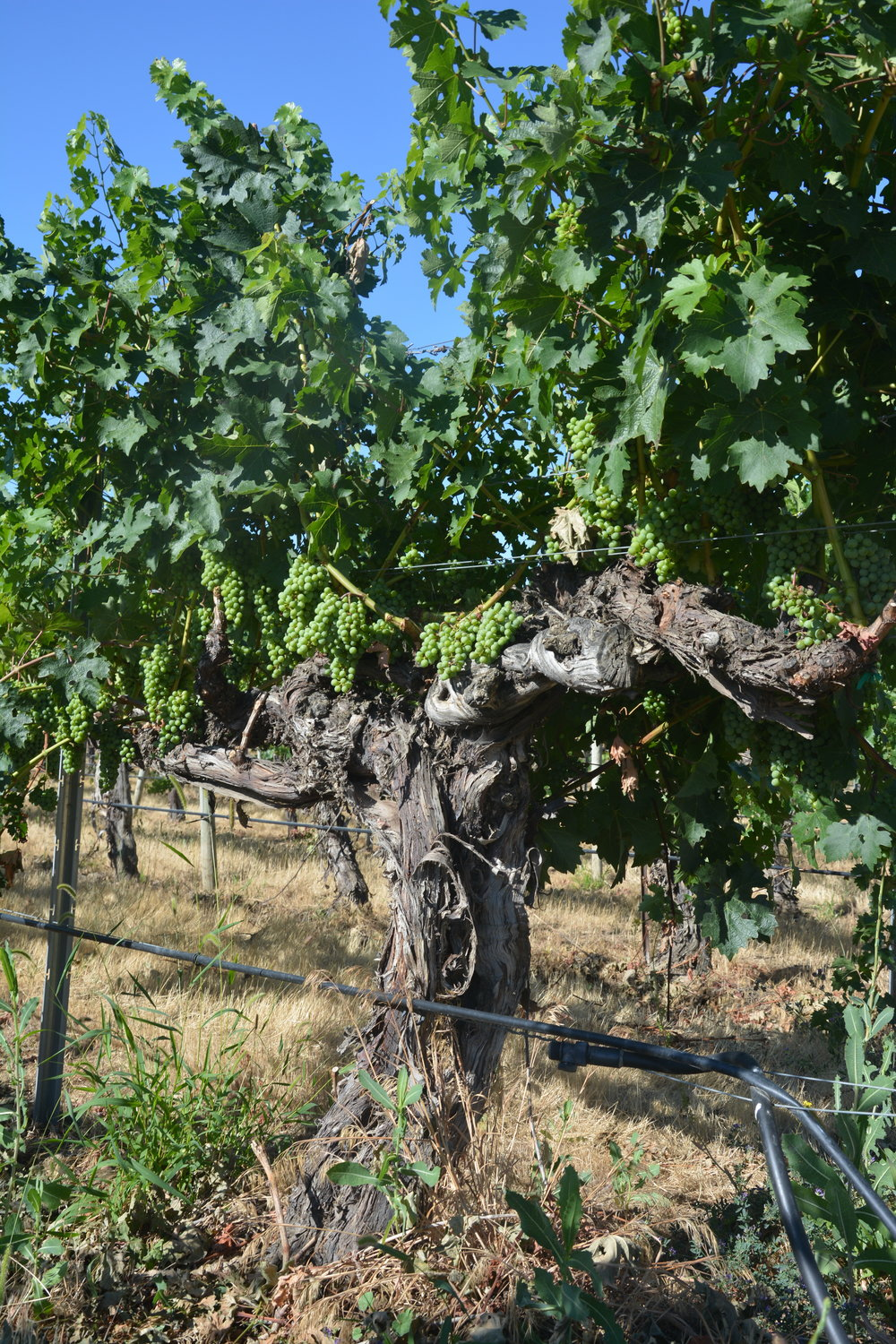 Summer 2018: You don't see vines like this everyday. This is Bacchus Vineyard, Washington State Cabernet Sauvignon planted in 1972.