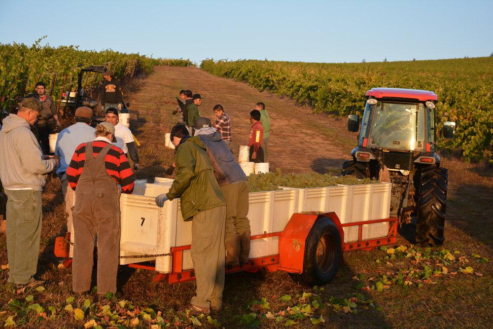 Harvest 2018: Freedom Hill Chardonnay – beautiful!