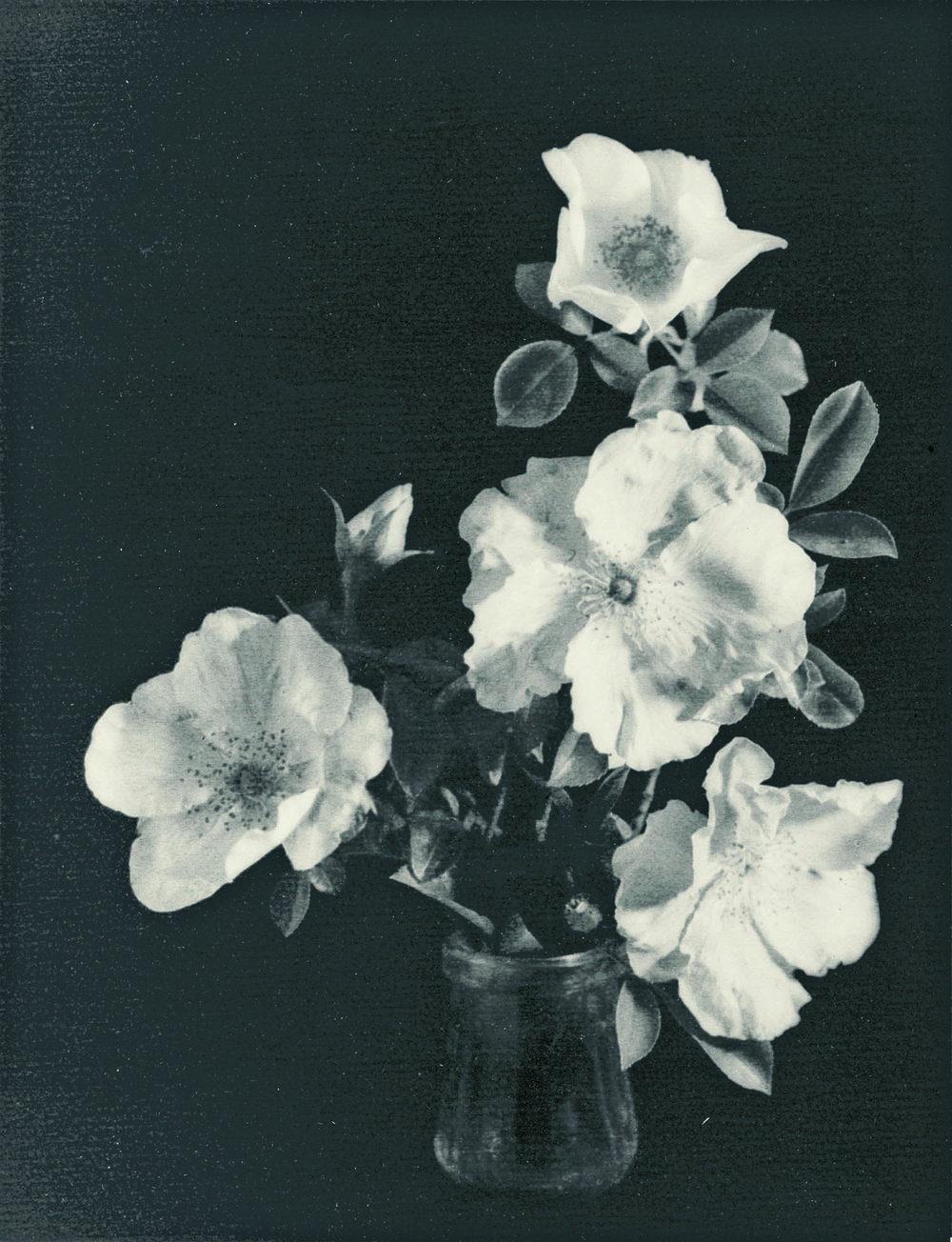 John MacAskill, Australia, 1890/91 ‑ 1974,  Roses,  c.1927, Australia, gelatin‑silver photograph, 36.2 x 28.0 cm (image & sheet). Purchased 1927, Art Gallery of South Australia, Adelaide. 2711Ph6
