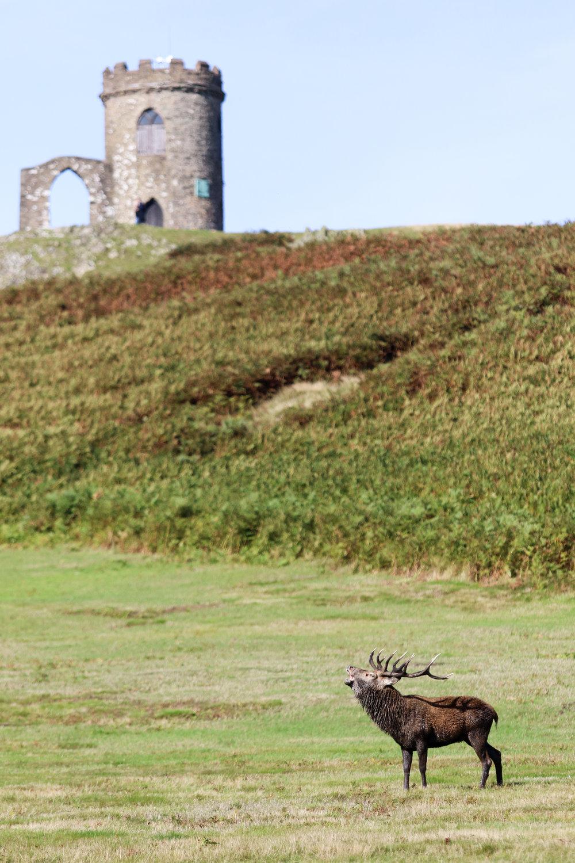 Stag castle bark.jpg