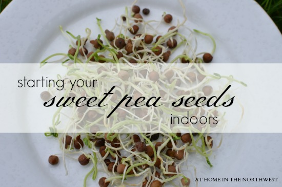 STARTING YOUR SWEET PEA SEEDS INDOORS 2 (AT HOME IN THE NORTHWEST)
