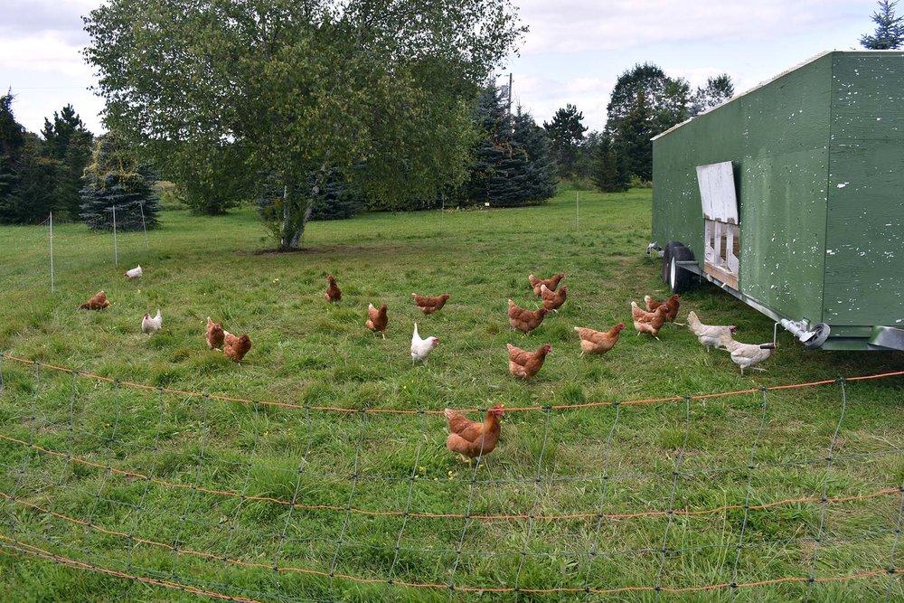 Chicken_0065.jpg