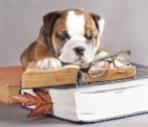 bulldog reading.jpg