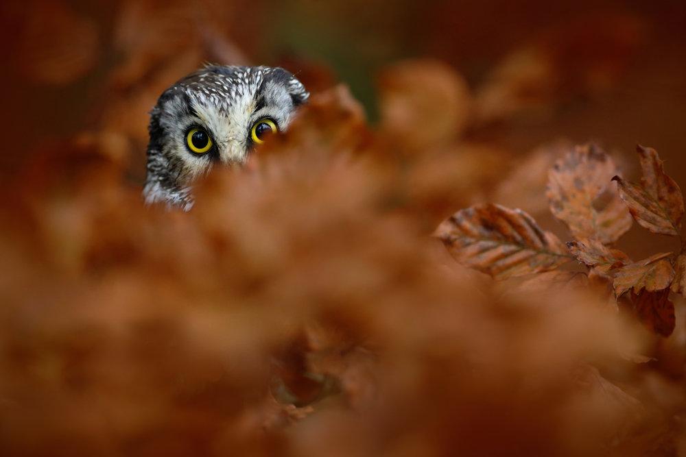Owl_102584704.jpeg