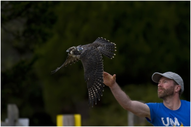 Long-term collaborator and professor at the Biology department of Moncton University (Canada) Dr. Nicolas Lecomte releases a hatch-year peregrine falcon wearing its new ultra light backpack transmitter in Cape May, New Jersey, October 2016.