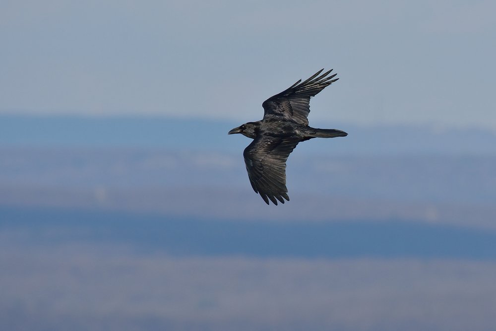 Raven in flight by Bill Moses.