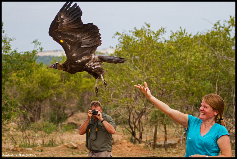 "Dr. Lindy Thompson, releasing ""Don King,"" a South African hooded vulture, after his capture in February."