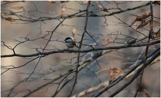 A Carolina Chickadee, just one of seven species found in North America. Photo: Holly Garrod