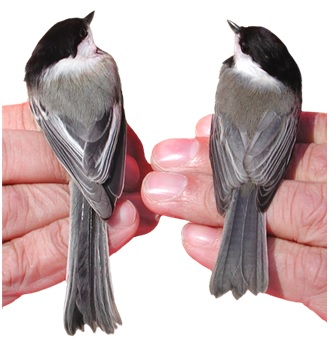 A Black-capped Chickadee (left) and a Carolina Chickadee (right) for comparison. Photo: Robert Curry