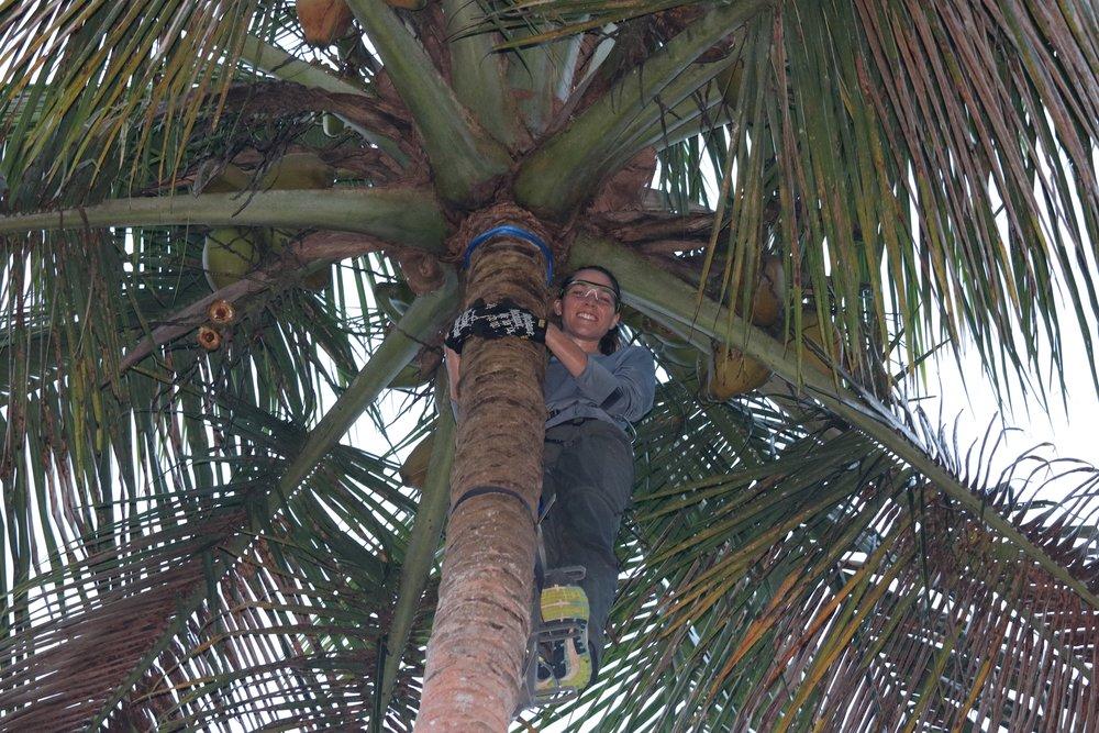 Kirsten climbing a coconut tree.