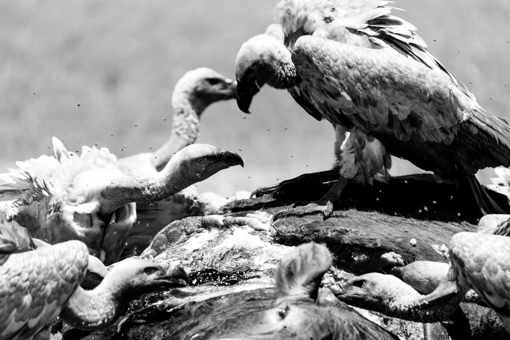 African white-backed vulture photo by Julia Wheeler