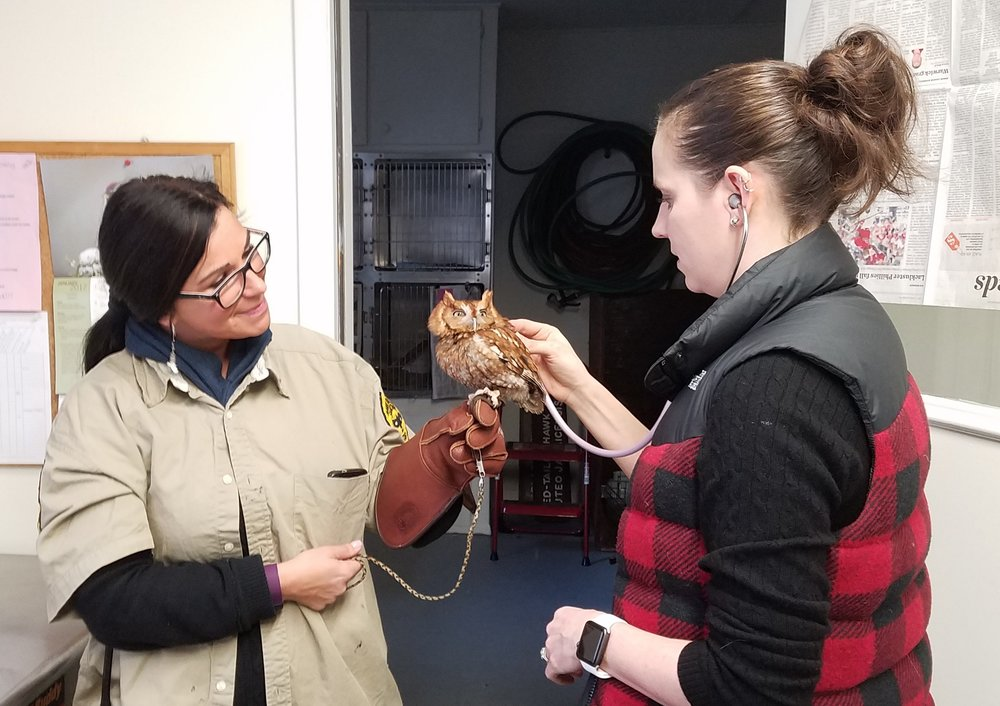 Rachel assists Hawk Mountain's veterinarian, Dr. Pello, during a routine check up of our red-morph eastern screech owl.