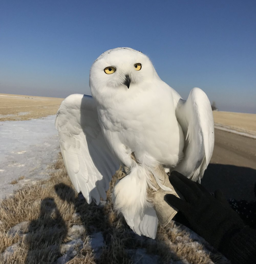 Male snowy owl trapped and tagged in Saskatchewan.