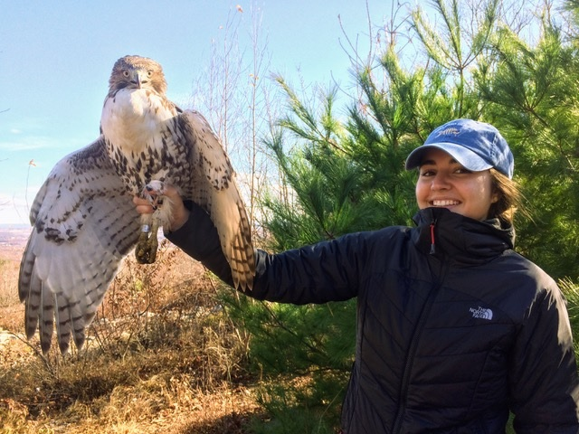 Lauren with a banded red-tailed hawk.