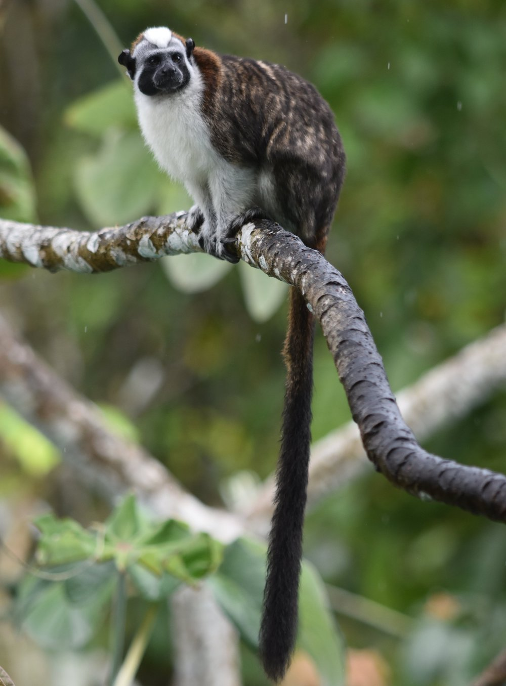 Geoffroy's Tamarin monkey, photo by Brian Moroney.