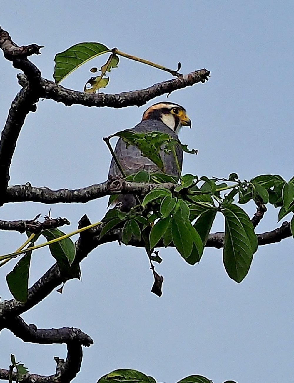 Aplomado falcon perched in tree, photo by Brian Moroney.