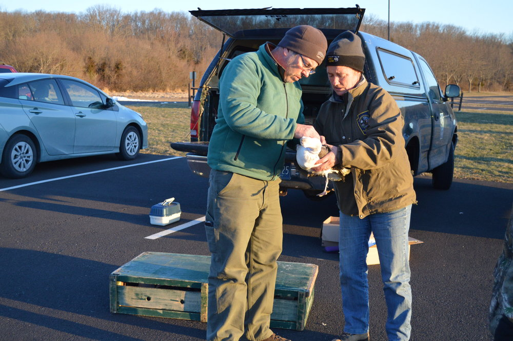 Hawk Mountain Research Biologist David Barber and PA Game Commission Biologist Patti Barber check the fit of a satellite transmitter before releasing a lesser black-backed gull. Photo by Pat Rago.