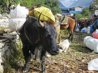 Yak in Samagaon, loaded with supplies to take to base camp