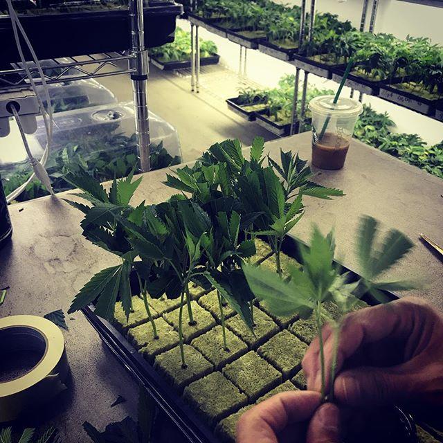 Sunday work flow #clones #workflow #gardenofzen #bossog