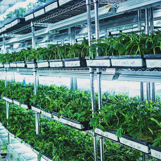 Gorilla glue is in crazy high demand and there is a waitlist buttttt we constantly dishing out so get on that waitlist b! #marijuana #farmer #medicalmarijuana #clones #wholesaleclones #petaluma #sonomacounty #california #bayarea #weedstagram #legalization #cannabis #sherbert #gg4 #sfvog #kush #gsc #gelato #bubba #bluecookies #platinumkush #gardenofzen #gardenofzensf #organic