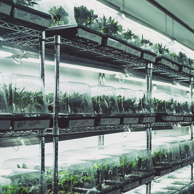 Our babies are covered... #marijuana #farmer #medicalmarijuana #clones #wholesaleclones #petaluma #sonomacounty #california #bayarea #weedstagram #legalization #cannabis #sherbert #gg4 #sfvog #kush #gsc #gelato #bubba #bluecookies #platinumkush #gardenofzen #gardenofzensf #organic