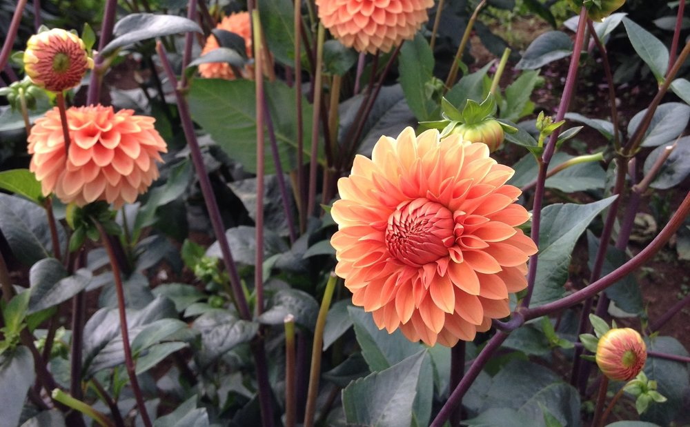 Rossendale Peach Dahlia City Fields Flower Farm