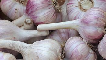 Purple-Turban_Our-Garlic.png