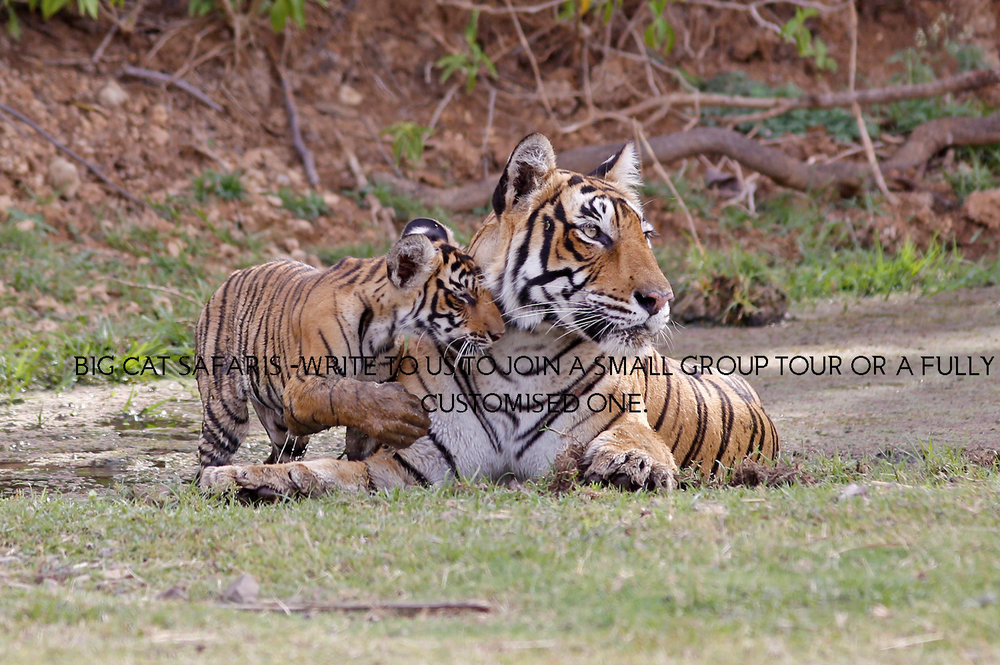 WE ORGANISE TAILOR MADE AND SMALL GROUP TIGER SAFARIS ALL OVER INDIA & ALSO IN BHUTAN AND BANGLADESH - WRITE TO US TO KNOW MORe