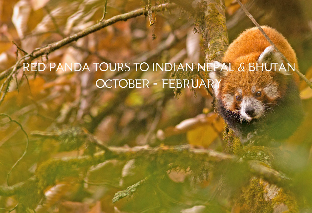 WE HAVE RAN RED PANDA TOURS WITH GREAT SUCCESS AND WE HAVE FOUND NEW HABITATS FOR RED PANDA TOURS - DO DROP A LINE TO KNOW MORE