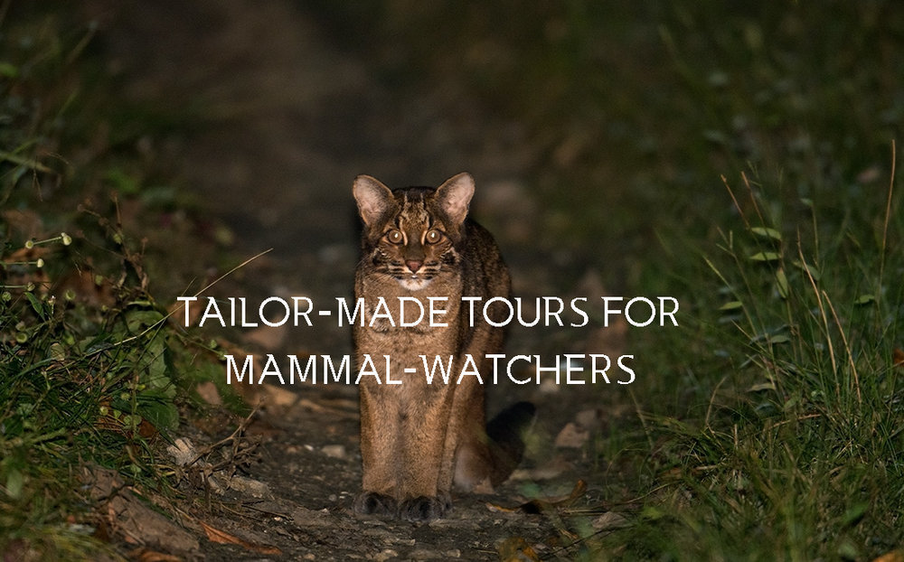 TAILOR-MADE TOURS FOR DEDICATED MAMMAL-WATCHERS FOR SMALL CATS ACROSS DIFFERENT AREAS AND HABITATS, IF YOU WISH TO TRY FOR A SMALL CAT LIKE CLOUDED LEOPARD, FISHING CAT, MARBLED CAT, DESERT CAT LYNX OR PALLAS' CAT THEN WRITE TO US AND WE WILL DESIGN IT FOR YOU.